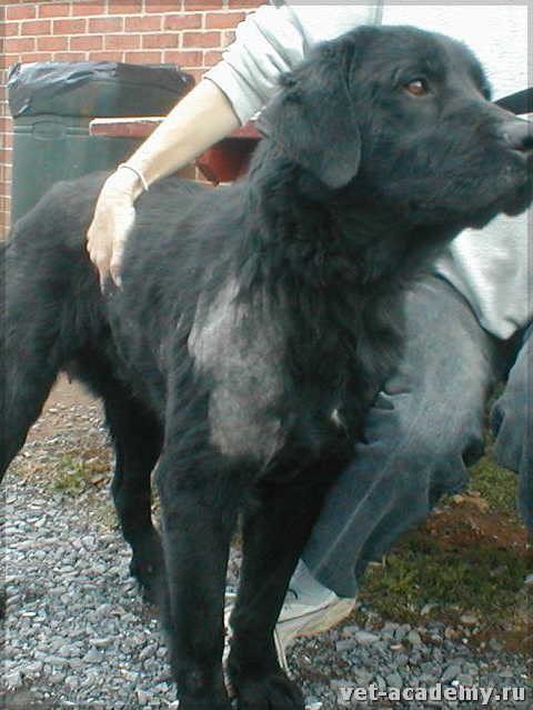 подкожный клещ у собаки симптомы и лечение фото