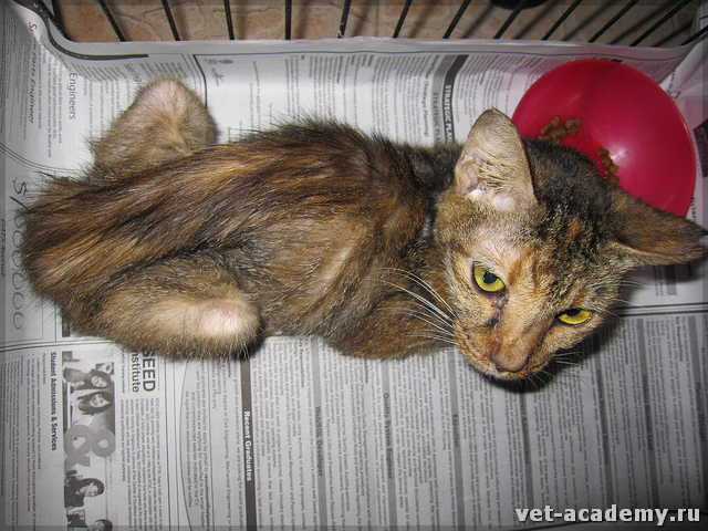 Панкреатическое у кота