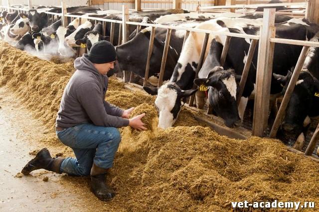 Уход и кормление коров