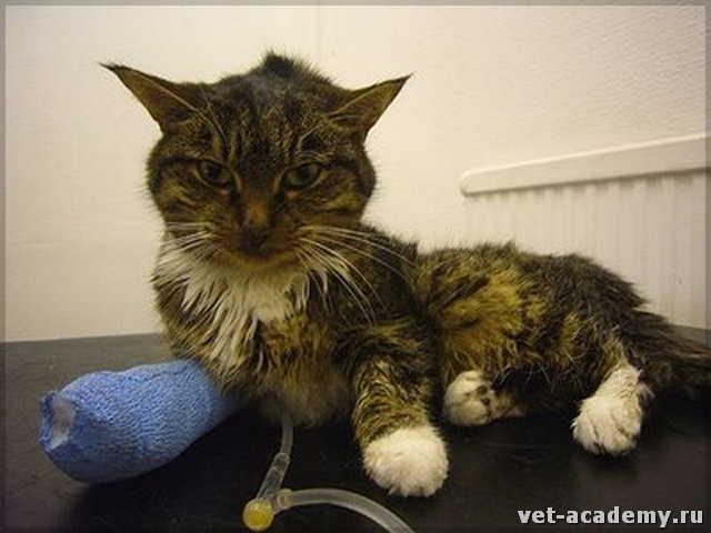 Как лечить у котов острую почечную недостаточность