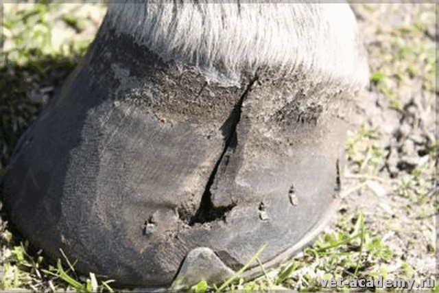 Деформация копыта лошади